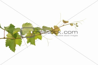 Branch of grape