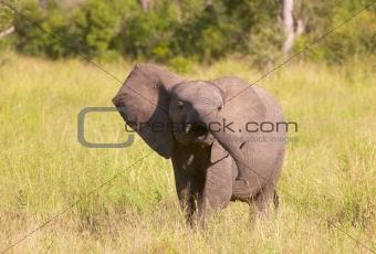 Small elephant calf in savannah