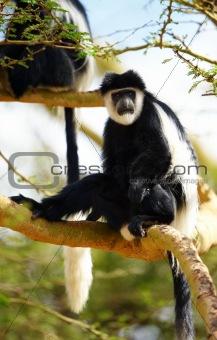 Black-and-white colobus monkeys