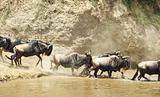 Herd of Blue Wildebeest (Connochaetes taurinus)