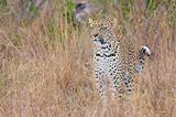 Leopard standing alert in savannah