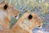Lions (panthera leo) close-up