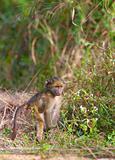 Chacma baboon (Papio cynocephalus)