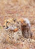 Cheetah (Acinonyx jubatus) cub