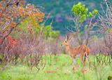 Single Reedbuck (Redunca arundinum)