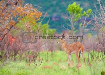 Single Reedbuck (Redunca arundinum)