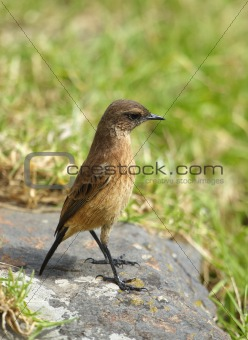 Small brown bird on a rock