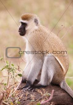 Black-faced vervet monkey in South Africa
