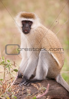 Black-faced vervet monkey (Chlorocebus pygerythrus)