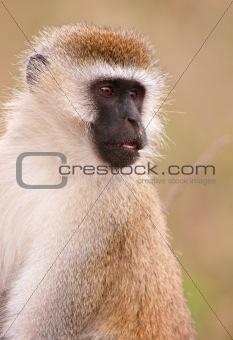 Black-faced vervet monkey (Chlorocebus pygerythrus)