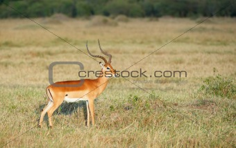Single red Impala