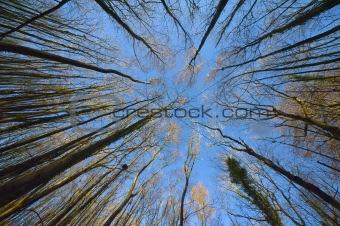 Tree Canopy Convergence