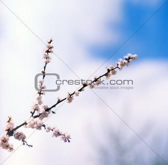 Blossoms against blue sky.