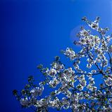 Blossoms against clear blue sky.