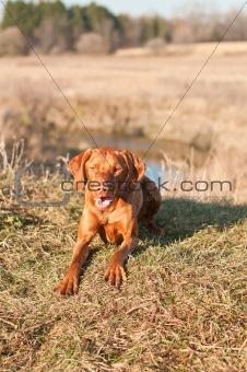 Crouching Vizsla Dog (Hungarian Pointer)