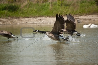 Canada Geese Taking-Off From a Pond