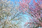 Background of almond tree branches.
