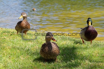Three ducks near the pond