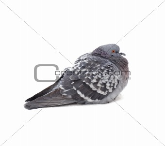 One grey pigeon