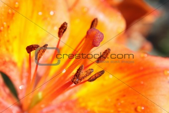 Bright orange lily closeup