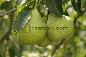Three ripe pears in the garden