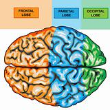 Human brain view top