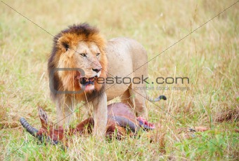 Single male Lion (panthera leo) in savannah