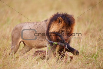 Single Lion (panthera leo) with a kill in savannah