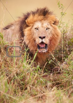 Lion (panthera leo) in savannah