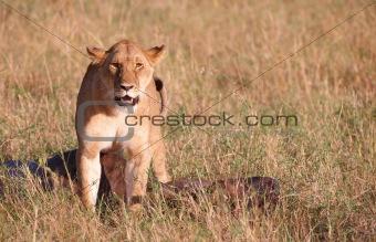 Single female Lion (panthera leo) in savannah