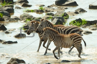 Three zebras (African Equids)