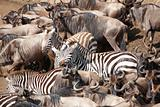 Herd of zebras (African Equids) and Blue Wildebeest (Connochaete