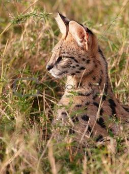 African Serval (Leptailurus serval)