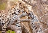 Two Leopards playing on the tree