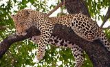 Leopard sleeping on the tree