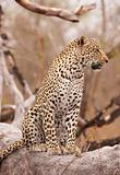 Leopard sitting on the tree