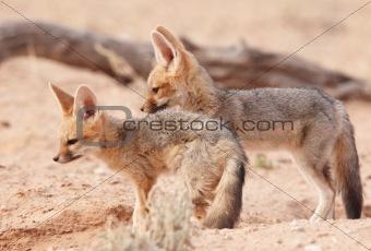 Alert Black-backed Jackal (Canis mesomelas)