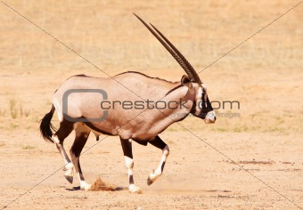 Single Gemsbok (Oryx Gazella)
