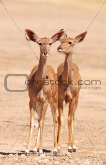 Group of Kudu (Tragelaphus Strepsiceros)