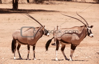 Group of Gemsbok