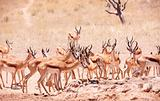 Large herd of Springbok (Antidorcas marsupialis)