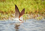 African Skimmer (Rynchops flavirostris)