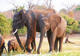 Large herd of African elephants