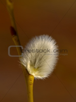 The Flower of pussy willow