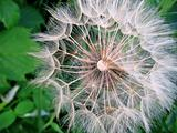 giant dandelion