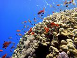 Red fishes and coral 5