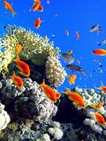 Red fishes and coral