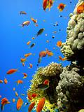 Red fishes and coral 3
