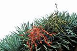 Flora of Madeira - Dragon tree,  Dracaena draco