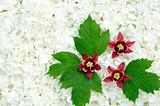 Guelder rose and columbine  blossoms - background